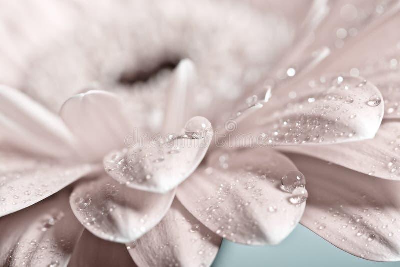 Macro foto del fiore della gerbera con goccia di acqua immagine stock