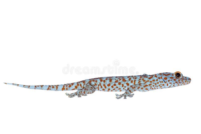 Macro foto del geco di Tokay isolata su fondo bianco con il percorso di ritaglio fotografia stock libera da diritti