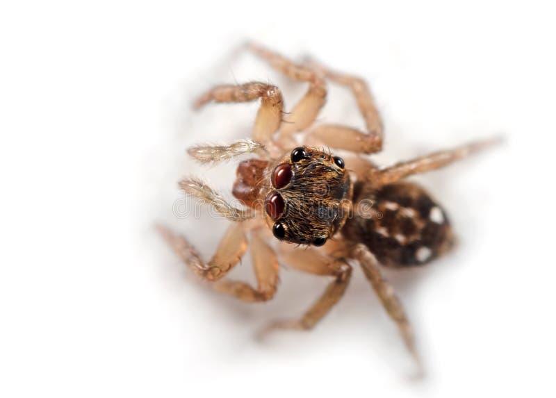 Macro foto del ragno di salto isolata su fondo bianco fotografia stock libera da diritti
