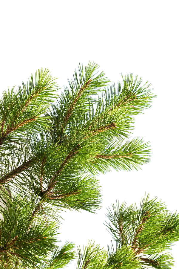 Macro foto del ramo di pino isolata immagini stock libere da diritti