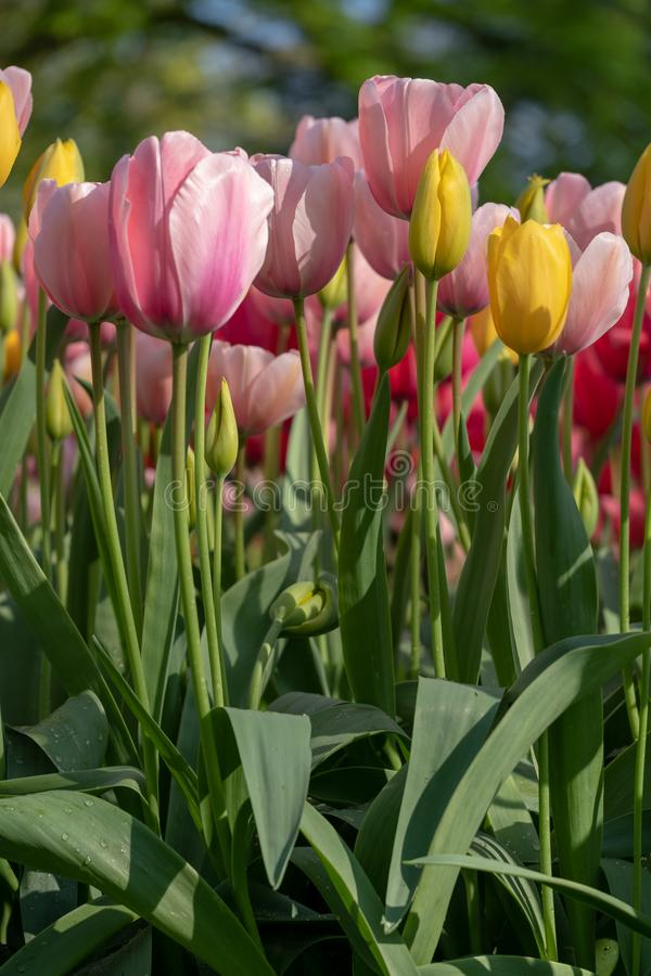 Macro foto del rosa e tulipani gialli ai giardini di Keukenhof, Lisse, l'Olanda Meridionale Keukenhof ? conosciuto come il giardi fotografia stock libera da diritti