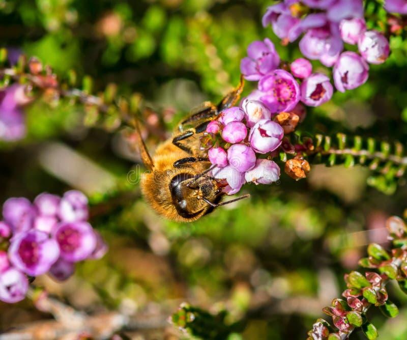 Macro foto dell'ape sul fiore fotografia stock