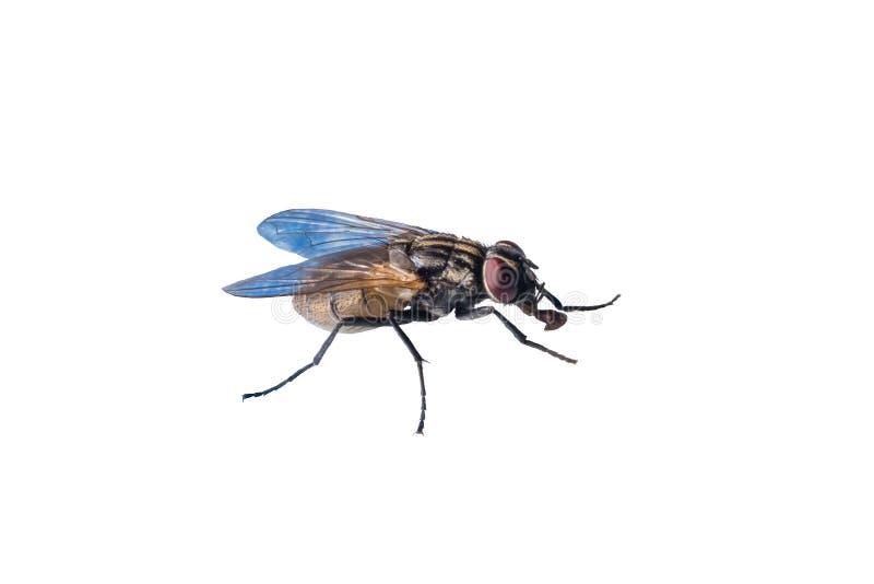 Macro foto della mosca isolata su fondo bianco fotografia stock