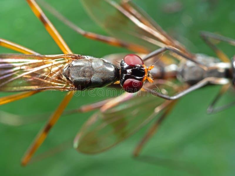 Macro foto della mosca Trampolo-fornita di gambe facendo sesso sulla foglia verde immagine stock libera da diritti