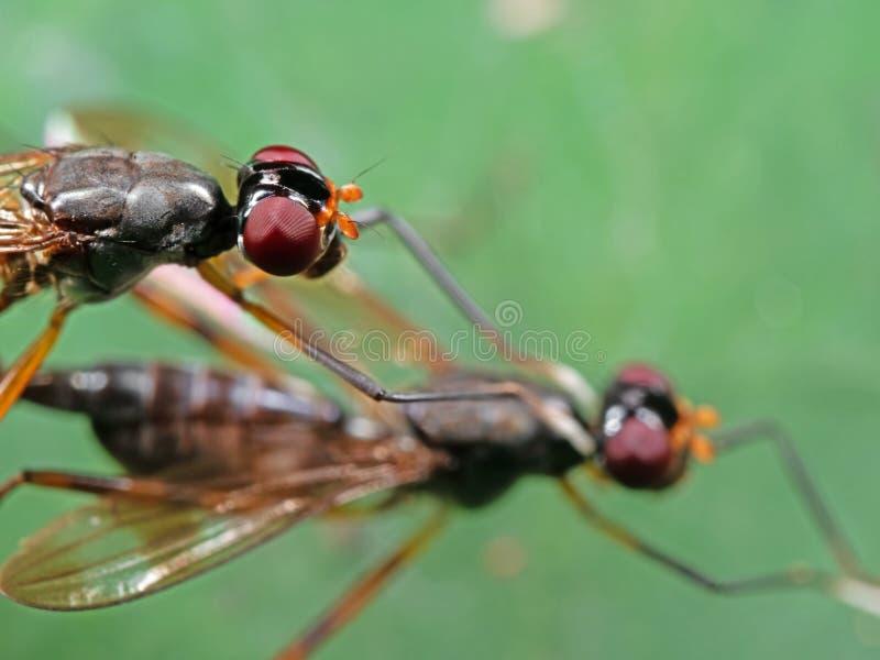 Macro foto della mosca Trampolo-fornita di gambe facendo sesso sulla foglia verde fotografie stock libere da diritti