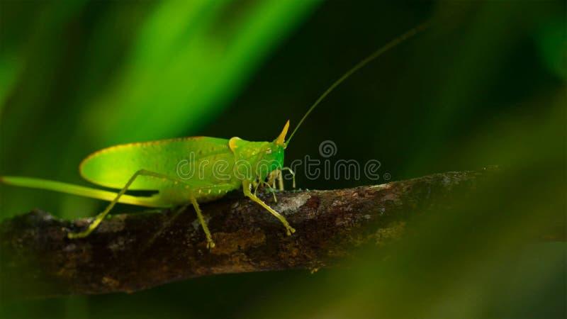 Macro foto di grande Bush-cricket verde immagine stock libera da diritti