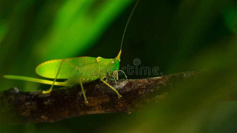 Macro foto di grande Bush-cricket verde immagini stock libere da diritti