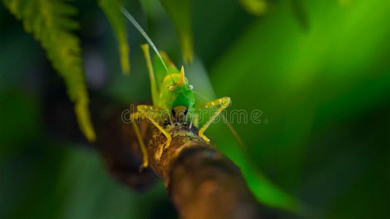 Macro foto di grande Bush-cricket verde fotografia stock