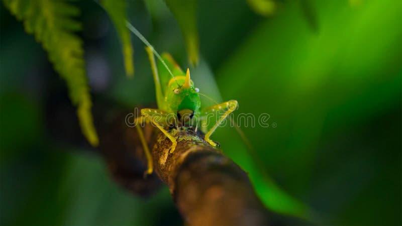 Macro foto di grande Bush-cricket verde fotografie stock libere da diritti