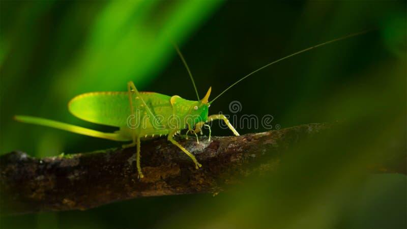 Macro foto di grande Bush-cricket verde immagini stock