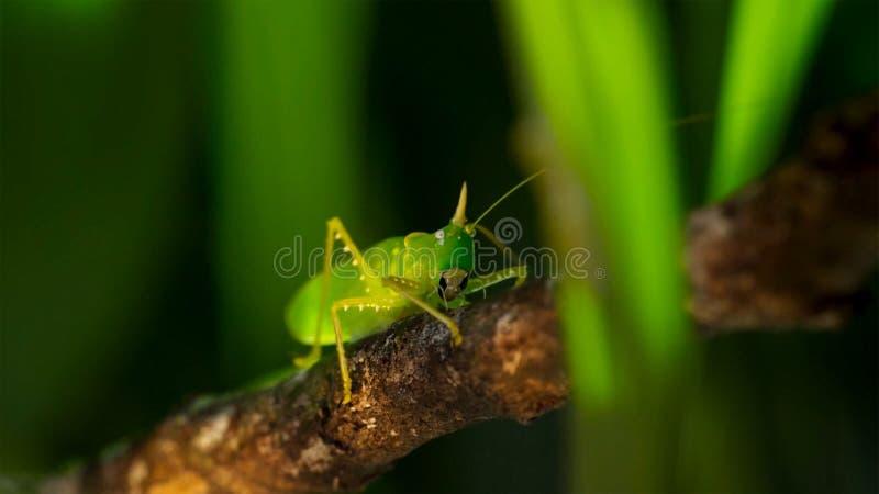 Macro foto di grande Bush-cricket verde fotografia stock libera da diritti