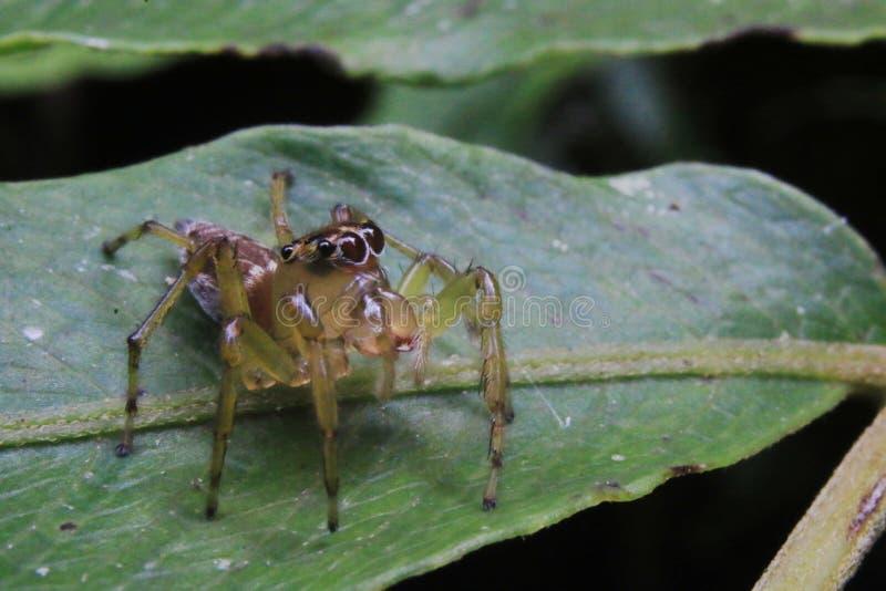 Macro foto di un ragno di salto sveglio Salticidae con i grandi occhi neri e un corpo marrone fotografie stock