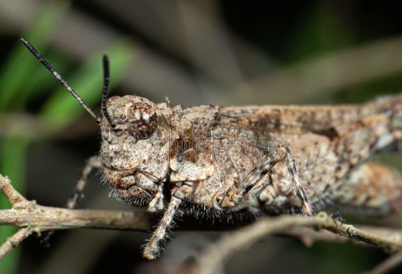 Macro Foto von Brown Grasshopper Camouflage auf Twig lizenzfreie stockbilder