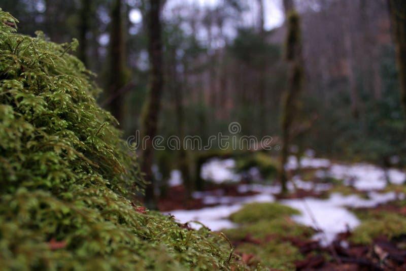 Macro fotografia della natura di Moss Covering una roccia nel legno profondo fotografia stock