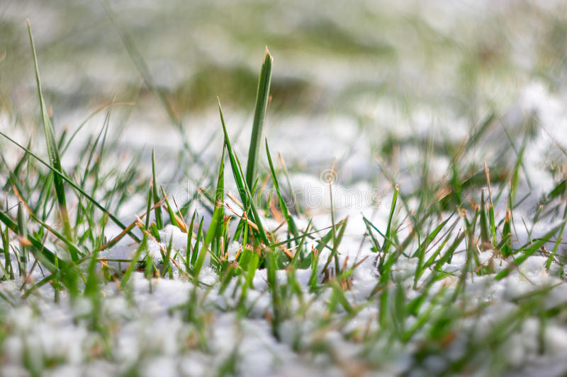 Macro of fresh green grass covered with snow royalty free stock images