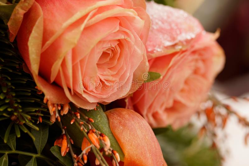Macro on frozen pink roses. Funeral arrangement royalty free stock photography