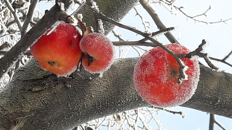 Frozen apple covered with snow on a branch in the winter garden. Macro of frozen wild apples covered with hoarfrost. royalty free stock image