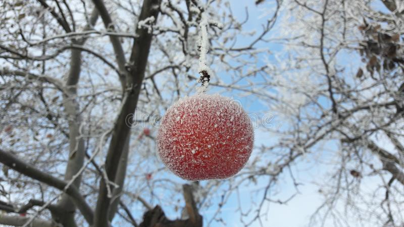 Frozen apple covered with snow on a branch in the winter garden. Macro of frozen wild apples covered with hoarfrost. stock photography