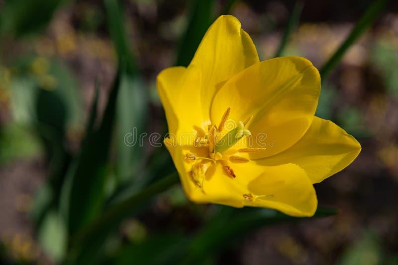 Macro fucilazione di un fiore del tulipano di un colore insolito su un fondo verde vago fotografia stock libera da diritti