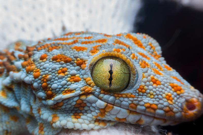 Eye of gecko stock image