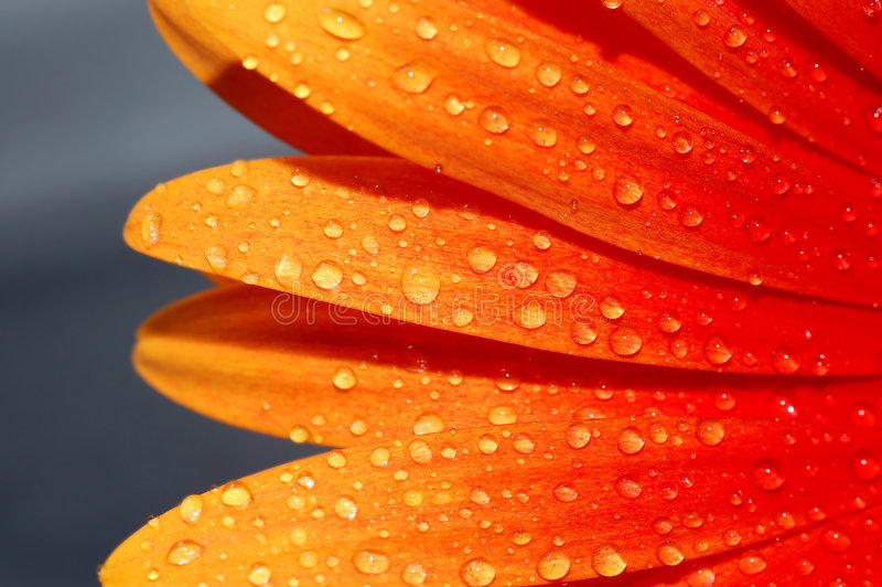 Macro of a gerber daisy royalty free stock photos