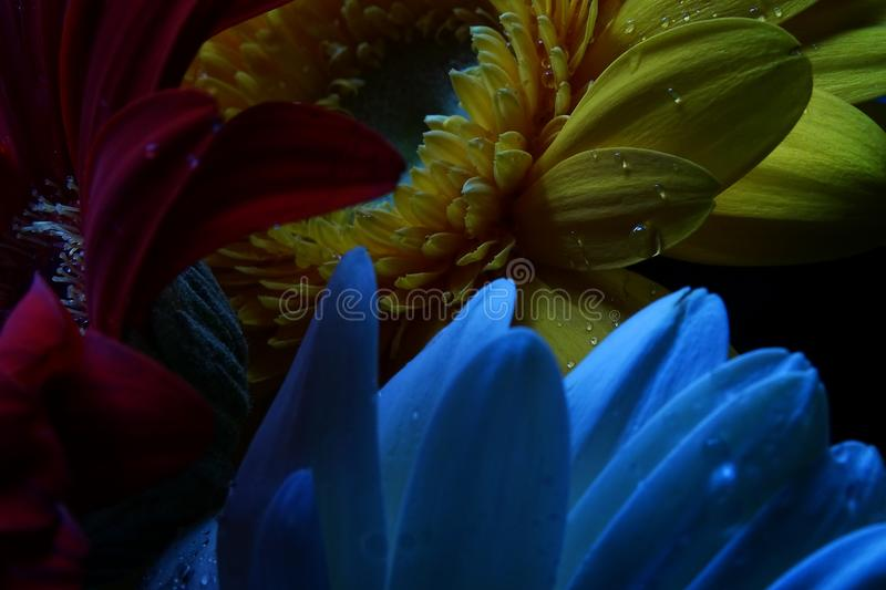 Macro Gerbera, Water Droplets, Low Key Portrait stock photos