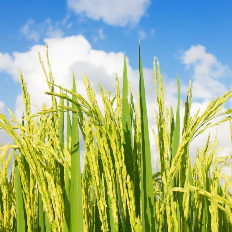 Macro giacimento del riso sul fondo del cielo immagini stock