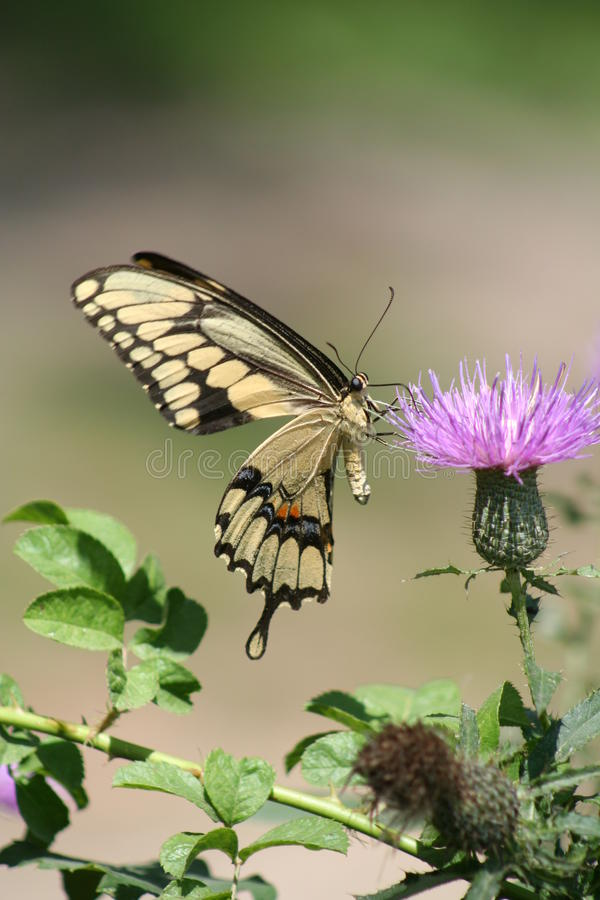 Macro of Giant Swallowtail Butterfly and Thistle. Giant swallowtail butterfly (Papilio cresphontes) getting pollen from a thistle plant royalty free stock images