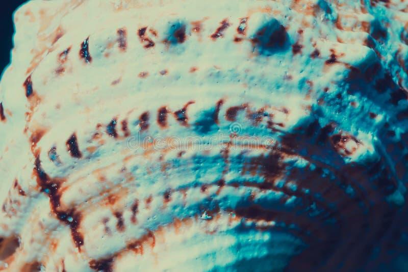 Macro gigante de la concha marina filtrada foto de archivo