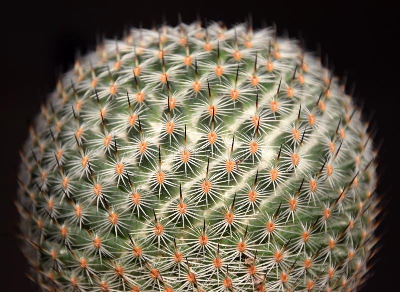 Macro globulaire de cactus de famatimensis de Lobivia, sur un fond noir photo libre de droits