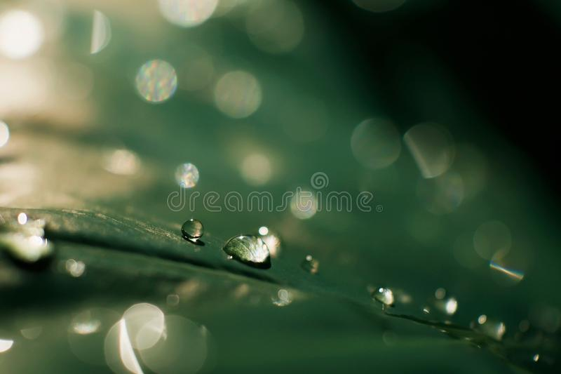 Macro goccia di rugiada trasparente sulle foglie verdi al sole, primo piano dell'acqua piovana con bokeh scintillante, fondo dell fotografie stock