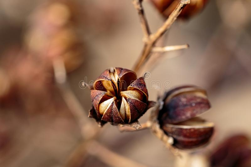 macro graines de ketmie en hiver en retard plus étroit photographie stock