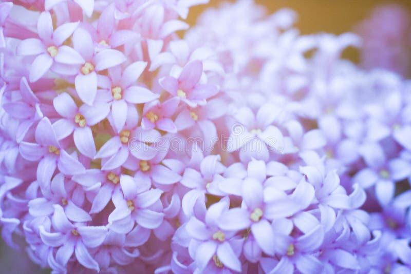 Macro grande blanca y ordinaria de la lila junto imagen de archivo libre de regalías
