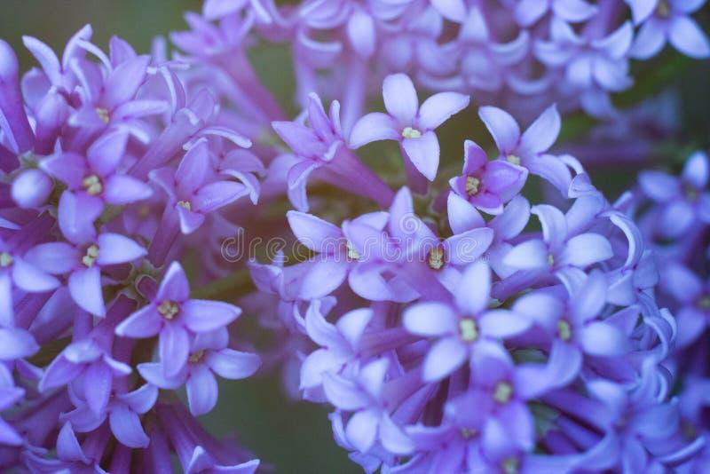 Macro grande blanca y ordinaria de la lila junto foto de archivo