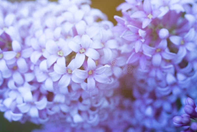 Macro grande blanca y ordinaria de la lila junto foto de archivo libre de regalías