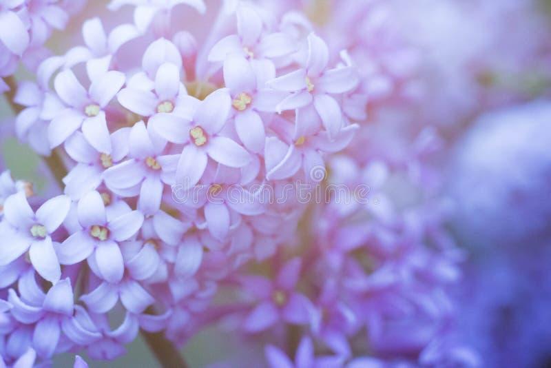 Macro grande blanca y ordinaria de la lila junto imagen de archivo
