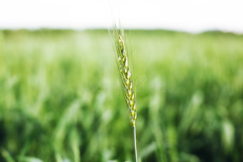 Macro grano, orzo Bello orecchio verde del grano che cresce nel campo agricolo, paesaggio rurale Cereali non maturi verdi Il conc fotografie stock