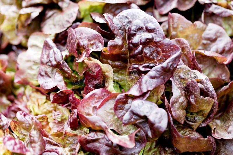 Macro grean et rouge frais de salade de laitue pommée photographie stock libre de droits