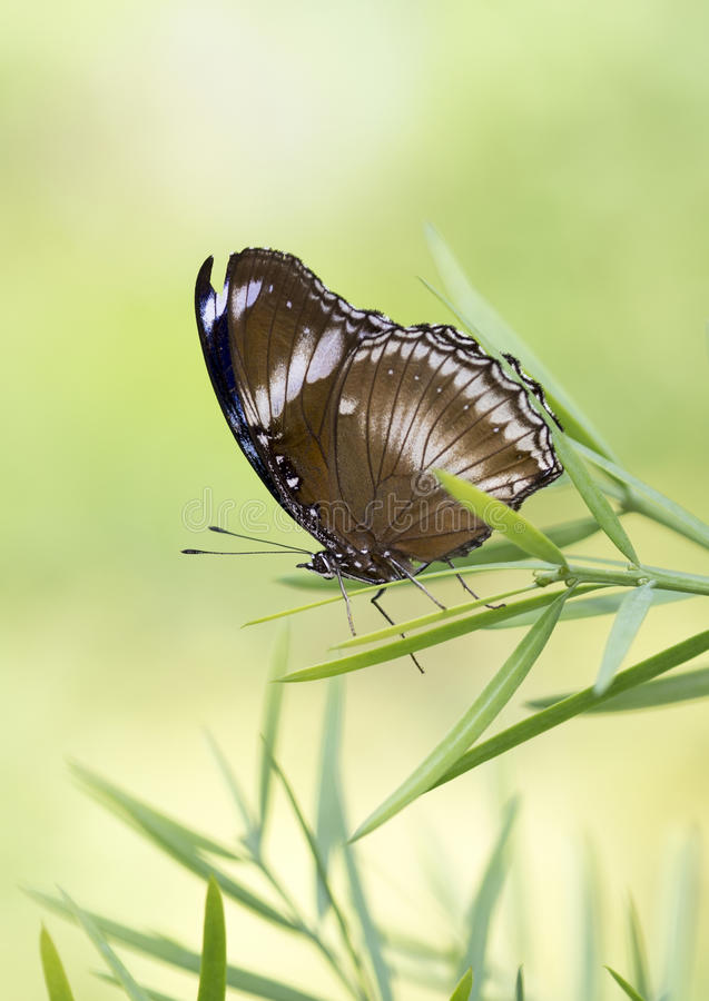 Macro Great Eggfly Butterfly royalty free stock image