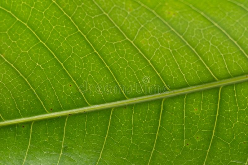 Macro of a green healthy leaf stock image