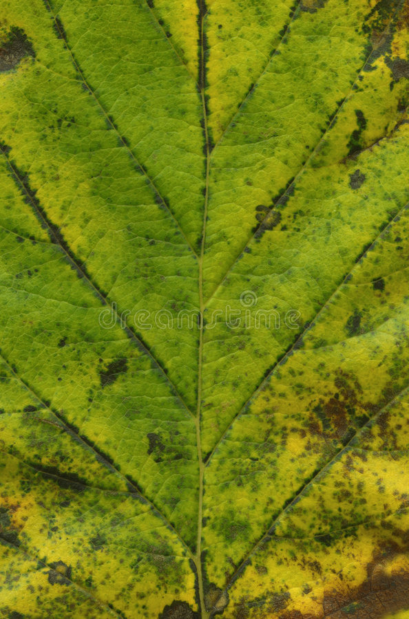 Download Macro Green Leaf Stock Photography - Image: 3290872