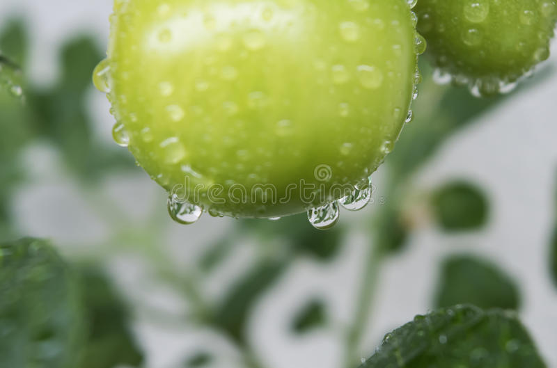 Macro of green tomatos covered with raindrops. Close-up of green tomatoes after a rain, covered with water drops royalty free stock photos