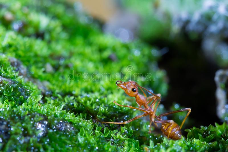 Macro of Green tree ant, Green tree ant Macro, Macro Ants, Oecophylla smaragdina, Oecophylla, Small ant, Beautiful ants, Cute ant stock photos