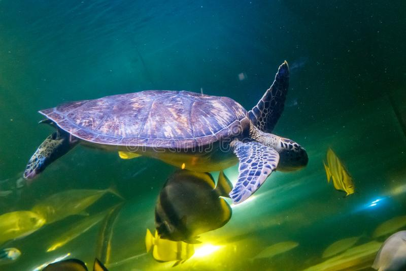 Macro Green Turtle, chelonia mydas. Close up stock photography
