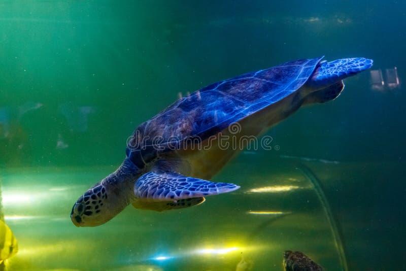 Macro Green Turtle, chelonia mydas. Close up stock image