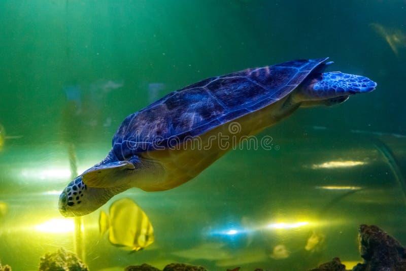 Macro Green Turtle, chelonia mydas. Close up stock images