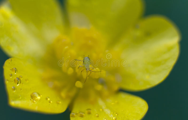 Macro of a greenfly on a yellow adonis. Macro of a greenfly insect on a yellow adonis royalty free stock photos