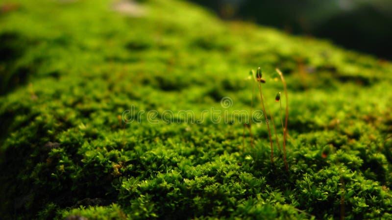 Macro groene Pogonatum-installaties stock foto's