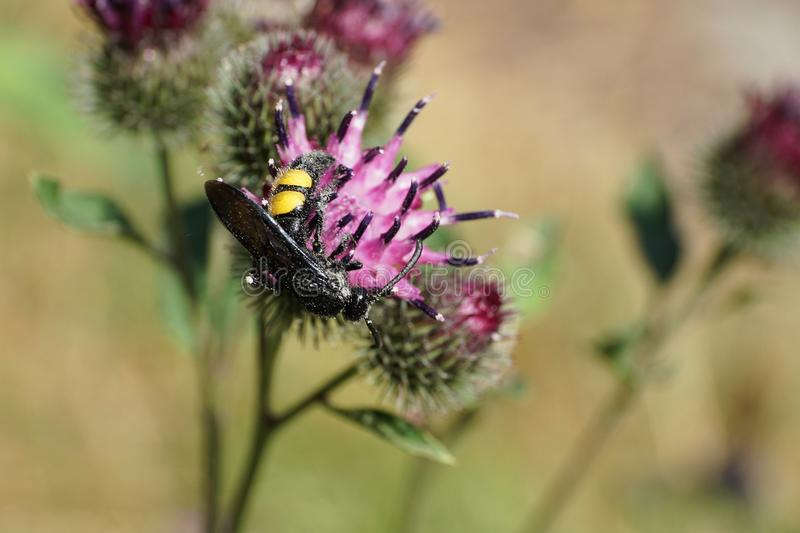 Macro of a hanging Caucasian wasp Scolia hirta on a flower thistle stock photography