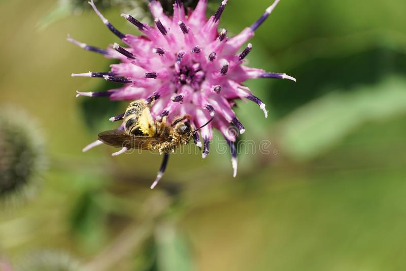 Macro of a hanging light brown shaggy Caucasian wild bee Macropis fulvipes on the violet inflorescence of thistle Arctium lappa stock images